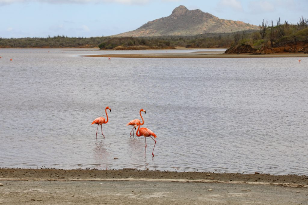 flamingo's in het Gotomeer