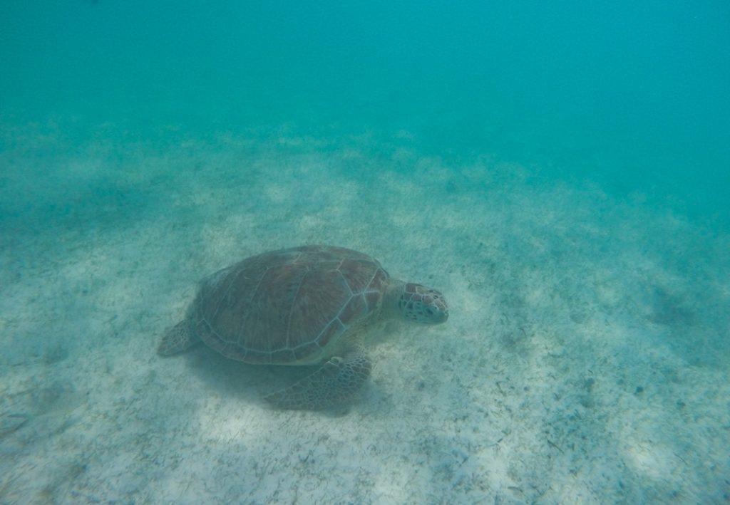 schildpad bij Bonaire